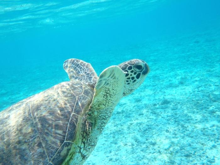 ダイビングではウミガメのすぐそばまで近寄ることもできます。