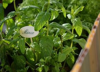 地下茎でどんどん増えるミントは、一緒に植えたハーブを侵食してしまうため、独立させて植えるのが得策。