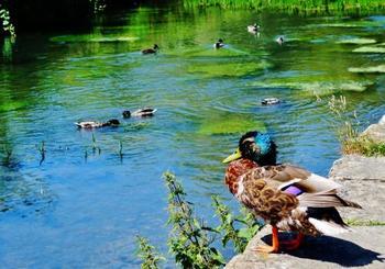 バイブリー村の中心にはコルン川が流れており、野鳥や水鳥が生き生きとしています。