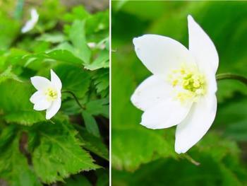 白く咲き誇るのはニリンソウ。バイカモとニリンソウは、同じ時期に楽しむことができるのだとか。