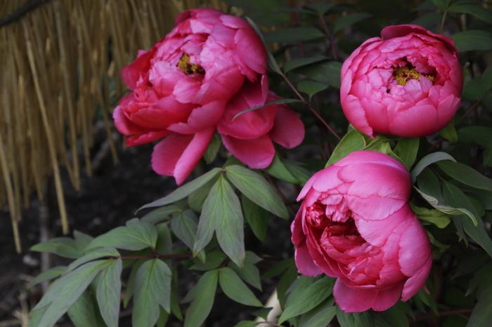 """【画像は、「神苑ぼたん庭園」の冬牡丹《日月》。牡丹は""""富貴花""""と呼ばれ、富や気品を象徴する縁起の良い花です。新年の花見は、牡丹を眺めて。】"""