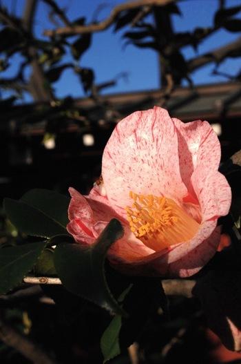 【画像は「大巧寺(だいぎょうじ)」に咲く、ツバキ《氷室雪月花》。】