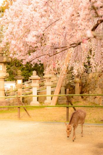「奈良にうまいものなし」というフレーズは、かつて奈良に暮らした志賀直哉の言葉から生まれたものですが、実際にはこの土地を愛し、愛情ゆえにあれこれと随筆に書き残した人でした。彼が気に入った自然や古い建物は、少しずつ姿を変えながらも、今なおどこか懐かしい空気をまとって旅人を迎えてくれます。久しぶりにのんびり羽を伸ばしたいなあ、と思ったら、ぜひ新緑輝く古都・奈良を訪ねてみて下さい。