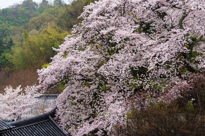 回廊から見下ろす桜はこんな感じで、やはり格別の趣です。いつまでもぼーっと眺めていたくなりますね。