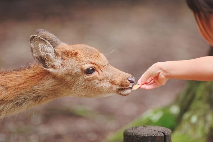 奈良公園のシンボルと言えば、やっぱり自由気ままな野生の鹿たち。実は奈良公園では、1200頭もの鹿がいるにもかかわらず人の手によるフンの処理はしていません。少し時間はかかりますが、虫や微生物たちがやがてきれいに分解してくれるのです。