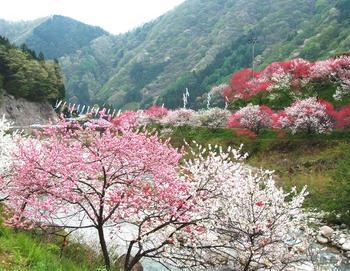 春には赤・白・ピンクの3色の花が咲き乱れる「花桃の里」