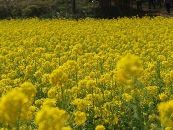 頂上から少し下った所にある白い塔(雨量観測所)の足元に広がる、菜の花畑。シーズンには心躍る黄色い絨毯に出逢えます。