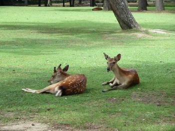 いよいよ近づいてきた夏の気配に、おなじみの奈良公園の鹿もウンザリのご様子。きっと彼らは知らないのです。夏の暑さを吹き飛ばすとっておきの美味しいかき氷が、実はすぐ近くにあることを…。