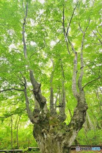 日本一の奇形ブナとして有名な「あがりこ大王」にも多くの苔を観察することができます。