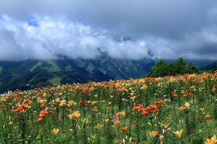 避暑地としても人気のスポット・白馬村には、春から夏にかけて、花々が咲き誇ります。