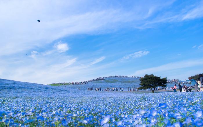 4月下旬~5月下旬には、可愛らしいネモフィラで丘一面がブルーに染まります。 空・海・ネモフィラが三位一体になって作り出す青一色の世界は圧巻で、一見の価値有りです!