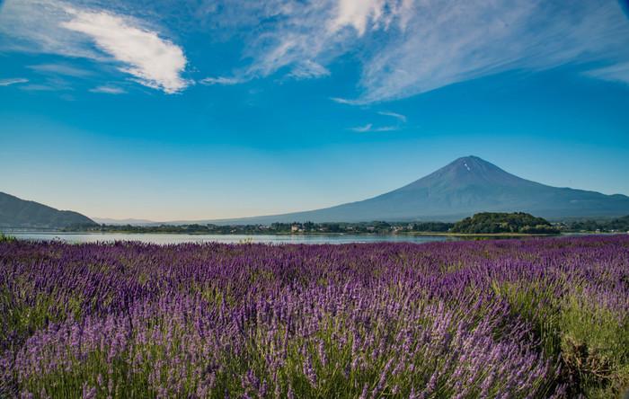 2万株ものラベンダーが一面に咲き誇り、富士山に華を添えます(6月下旬~7月上旬)。