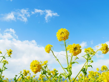 春の季語としても桜と並んでよく登場する、菜の花。一面の黄色い菜の花畑は冬を乗り越えた証。
