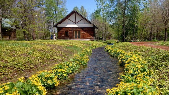 「六花の森」(冬季休業) 北海道ガーデン街道の庭園の一つです。季節には、坂本直行の花柄デザインに描かれた花々が咲き、まさにあの包装紙の世界に触れることができます。園内の自然の中にクロアチアの古民家を移築した展示棟が佇みます。咲いているのはエゾノリュウキンカ。