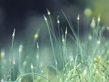 ノビルはユリ科ネギ属の多年草。見た目もネギっぽさはありますが、根っこの球根部分をいただきます。