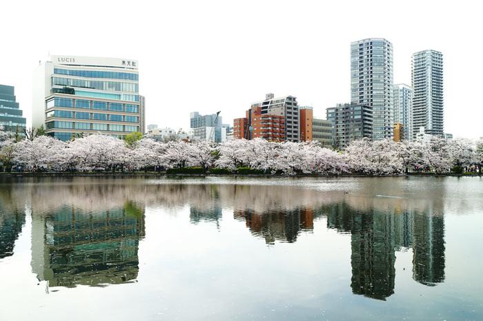桜の開花やお花見のニュースでもよく取り上げられている、上野恩賜公園(通称:上野公園)の桜は、日本さくらの名所100選にも選ばれたことのある名所中の名所です。こちらの桜の見ごろは3月下旬から4月下旬まで。