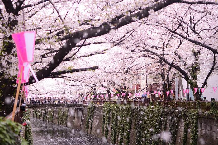 都心で歩きながらのんびり桜を楽しめる名所が、こちらの目黒川沿いの桜並木。約3.8キロの川沿いに、約800本の桜がびっしり!両サイドにあるので、一歩足を踏み入れると圧巻の綺麗さです。