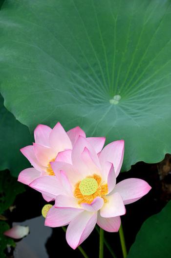蓮はもともと「はちす」と呼ばれていたのをご存知ですか?蓮の花托(中央、茎が厚くなり花が育つ部分)が蜂の巣に似ていることから名付けられ、そこから変化して「はす」に。花托の中にある蓮の実は、生で食べたりデザートに使ったり…東南アジアの国々ではとってもポピュラーな食べ物なんです。