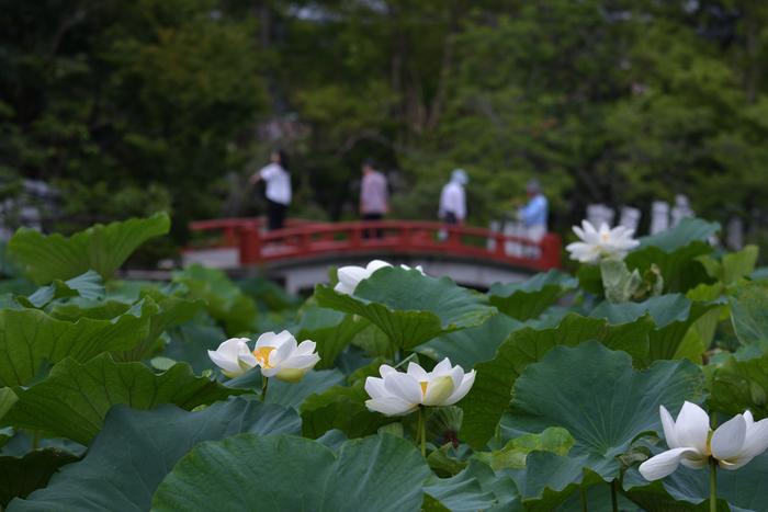 鶴岡八幡宮の源平池では毎年たくさんの蓮が花開きます。見事に咲き誇る紅白の花々。その涼やかな姿に夏の暑さが和らぐよう。