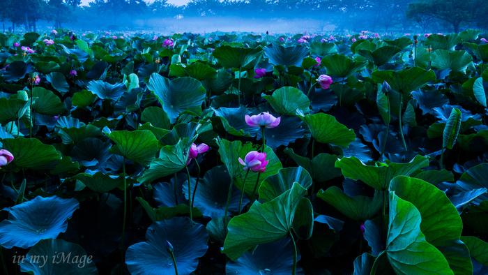 """埼玉県の蓮の名所といえば「古代蓮の里」。1400~3000年前の原始的な形態をもつ""""行田蓮""""が見られるスポットとして、毎年多くの来園者で賑わいます。例年6月中旬~8月上旬に開花するようです。"""