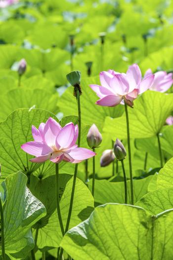 """行田市の天然記念物に指定されている""""行田蓮""""。濃いピンク色の可憐な花がとても愛らしいですね。ここでは行田蓮を含めて42種類もの蓮を観賞できます。"""