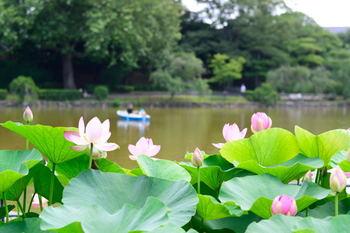 千葉市の中心街にあり蓮の名所として名高い「千葉公園」。千葉市内で発掘された希少な大賀蓮の開花時期は例年6月中旬~7月下旬頃と言われています。この時期公園内の池では見事な蓮の花を観賞できます。