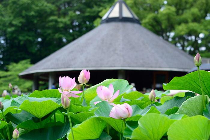 園内には大賀蓮の資料を展示した「蓮華亭」があり、大賀蓮についてより詳しく知ることができます。