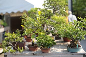 豪華な盆栽の数々。