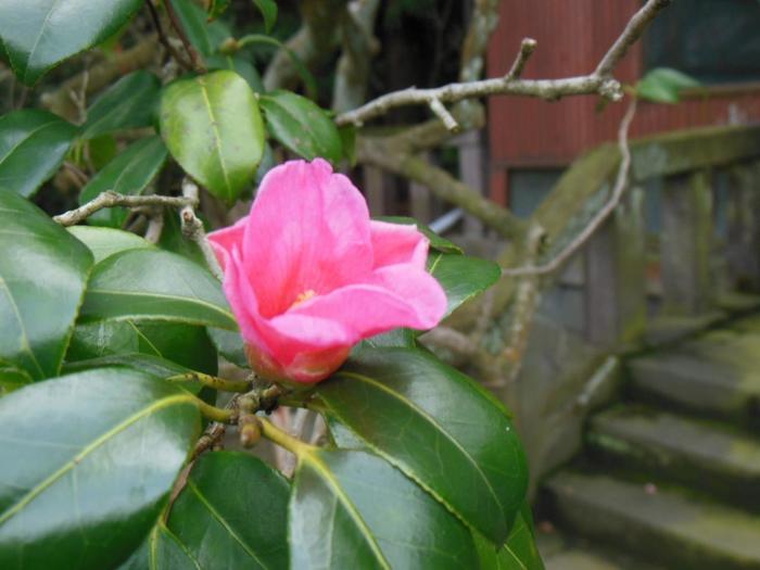 【画像は、英勝寺の咲く『侘助(わびすけ)』。鎌倉市の天然記念物です。徳川光圀建立の祠堂の前に植えられています。】