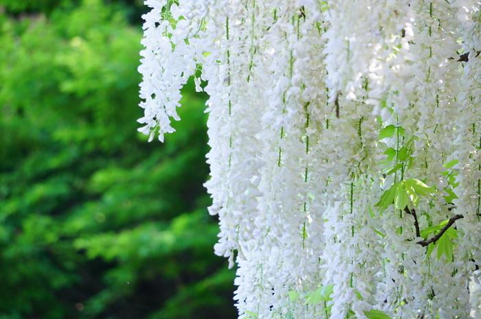 早春の梅、春の八重桜や枝垂れ桜、初夏の藤やツツジ、夏の芙蓉等など、英勝寺境内は一年を通じて花が楽しめる寺です。冬から春ならツバキと水仙。 【画像は白藤。】