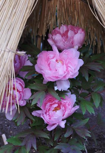 正月から2月上旬にかけては「冬ぼたん」、4月から5月には、「春ぼたん」を楽しむことができます。