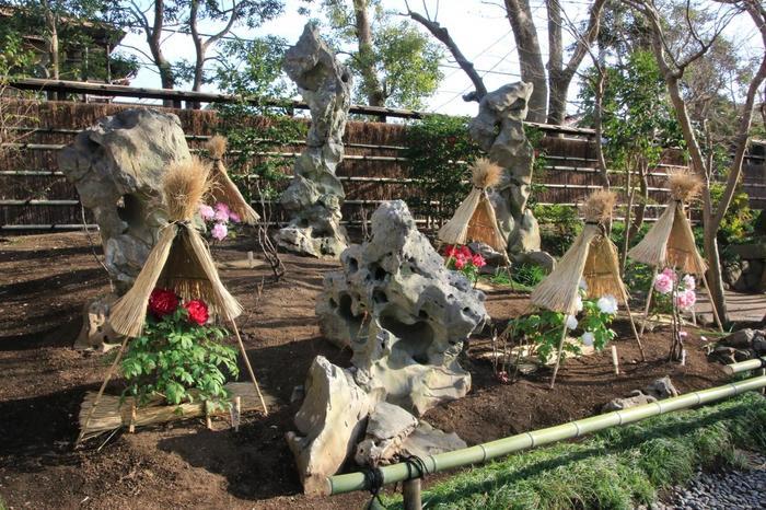 「神苑ぼたん庭園」には、約100品種1000株もの「牡丹」が植えられています。 【画像は、鎌倉の冬の風物詩、藁囲いした「冬ぼたん」。】