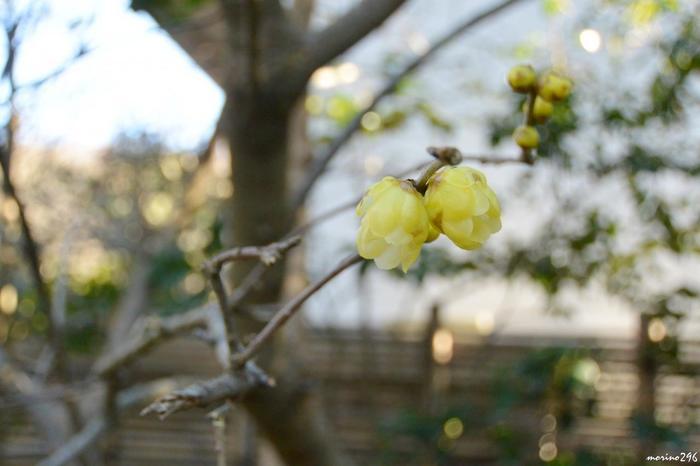 蝋細工のように、光を透過して鈍く輝く『蝋梅(ろうばい)』の花弁。
