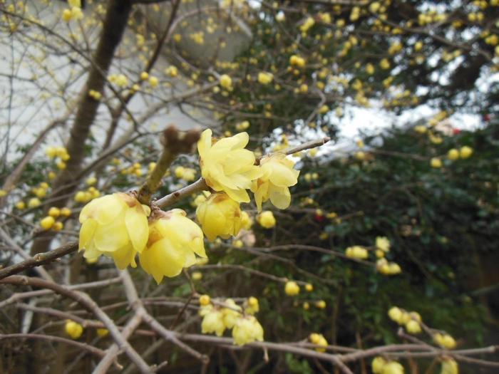 四季折々に花で彩られる「宝戒寺」。 冬から春の季節は、馥郁たる香りの蝋梅も艶やかに咲き開きます。