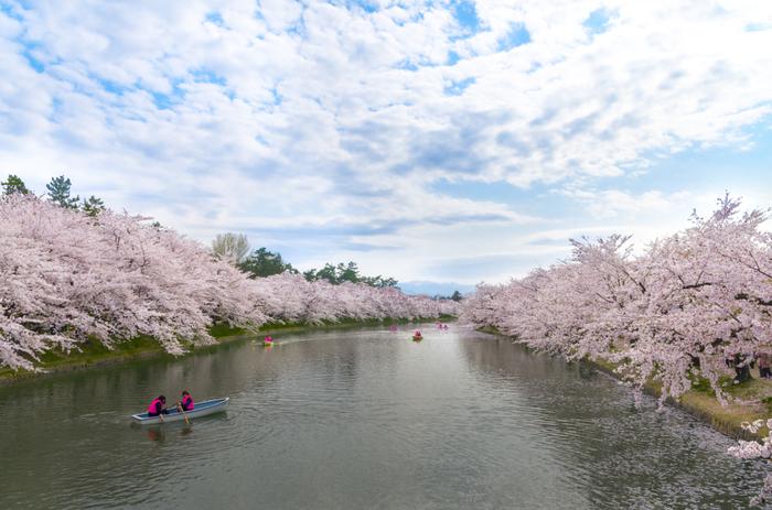 日本でも有数の桜まつり【弘前さくらまつり】。もこもことたくさんの桜が咲く様子は、日本一とも言われのも納得の美しさ! 例年、桜の開花は関東より遅めの4月半ばから後半頃です。