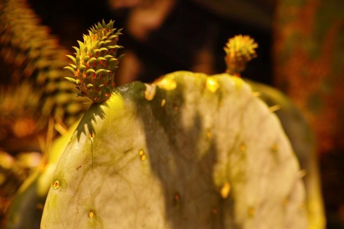 メキシコ料理でおなじみのウチワサボテンは、マダガスカル島では、子どものおやつになっているそう。にょきにょきと伸びているのは新芽です。