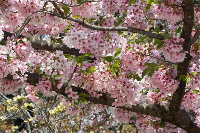 桜以外にも様々な花を堪能できる、国営の昭和記念公園。桜は3月中旬から4月末まで楽しむことが出来ますよ。公園内はとても広いので、セグウェイで公園を周れるツアーなんかもあります。