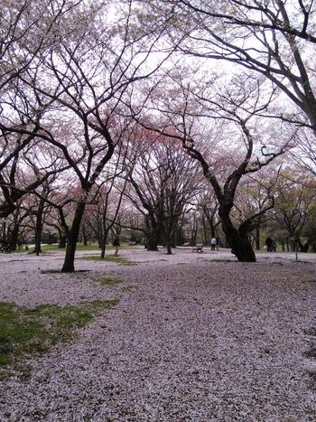 散りかけた後も、まるでピンクの絨毯の様でとっても綺麗な昭和記念公園。是非桜のシーズンに足を運んでみてくださいね。