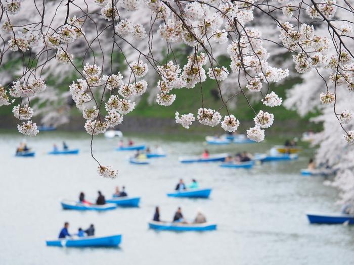 千鳥ヶ淵公園の桜は、3月下旬から4月下旬まで。毎年行われる「さくらまつり」の時期、ライトアップされておりとっても綺麗です。靖国神社も近くにあるので、お散歩しながら桜見物ができますよ。