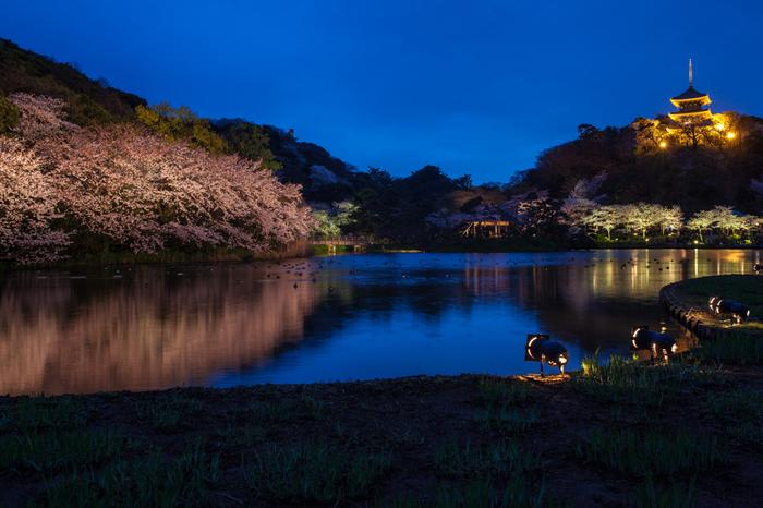 ライトアップされた夜桜。とっても幻想的です。3月下旬から4月下旬が見頃です。