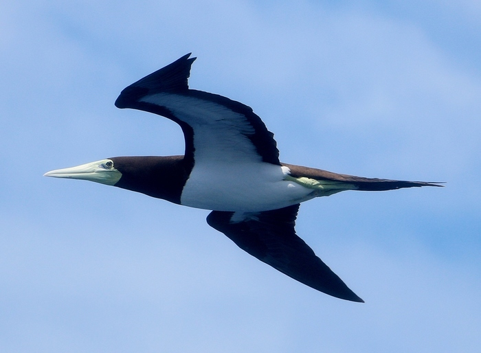 こちらはカツオドリ。この鳥が飛んでいるところにカツオなどの魚群がいたことが名前の由来です。