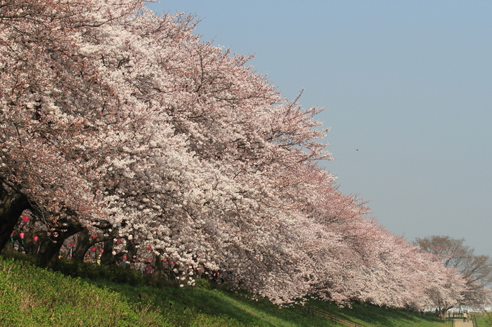 埼玉の桜の名所として、とても有名な幸手権現堂桜堤は、1キロに渡り、約1000本のソメイヨシノが咲き誇っています。