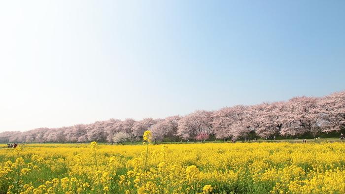 目の前の菜の花の黄色と、ソメイヨシノのピンクがとても美しい名所です。