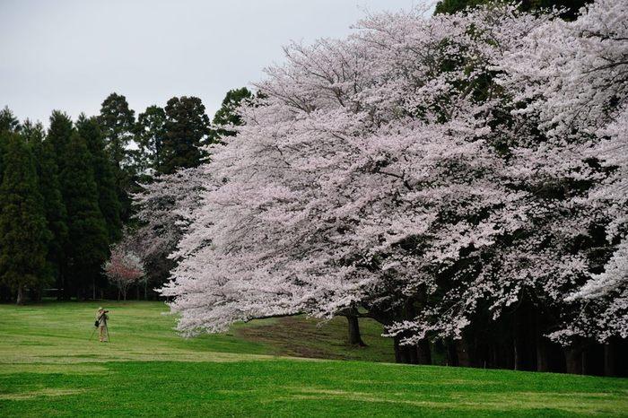 緑が豊富で、豊かな自然が残されている泉自然公園は、約1500本の桜があり、こちらも日本さくらの名所100選に選ばれているとっても素敵な桜のスポットなんですよ。