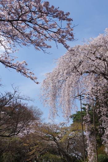 千葉を代表する桜の名所が、こちらの清水公園です。公園は約28万平方mととっても広く、桜の種類もソメイヨシノをはじめ、大島桜、伊豆多賀赤、豆桜、プリンセス雅、そしてしだれ桜など、種類も豊富で、ずっと見ていて心が洗われます。