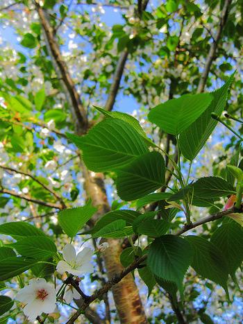 ・乾燥やホコリを防ぐため ・桜の香りをつけるため ・塩漬けの葉が、あんこ餅の味のインパクトになる などの理由から、葉を巻くようになったのだそう。