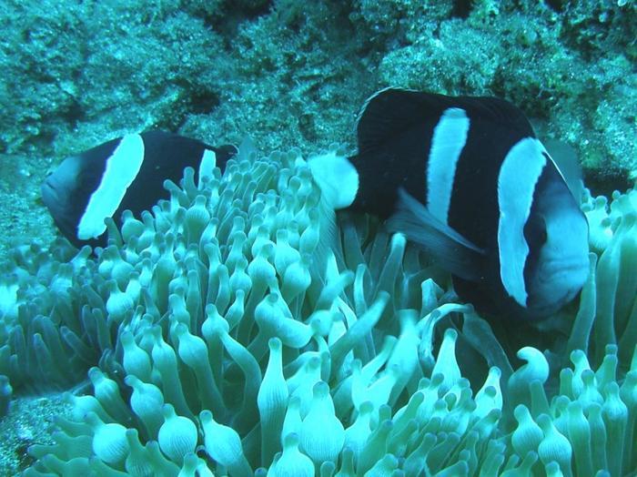 小笠原諸島の海は透明度が高いのでダイビングも最高です。こちらは黒いクマノミ。