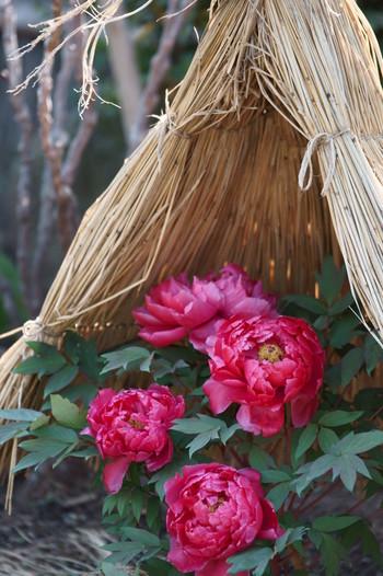 【画像は「鶴岡八幡宮」に咲く冬牡丹。】