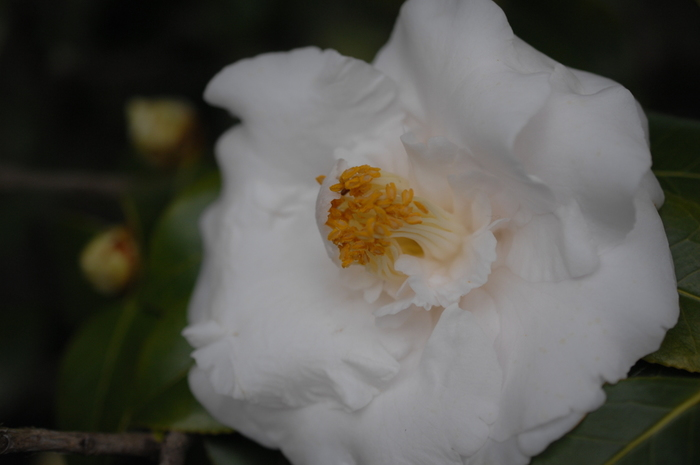 純白の花びらが重なる「鴇の羽重(ときのはがさね)」。