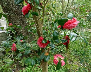 春の桜、夏の酔芙蓉、秋の萩。 冬は梅とツバキ。 【画像は「宝戒寺」の境内に咲くツバキ。】